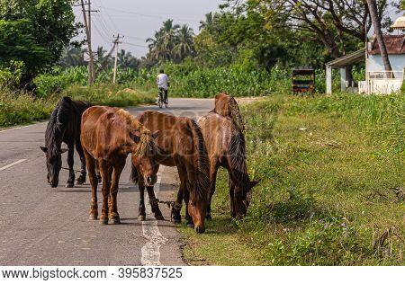 Hampi, Karnataka, India - November 4, 2013: Biker And 5 Horses Left Alone Along Road To Wander And E