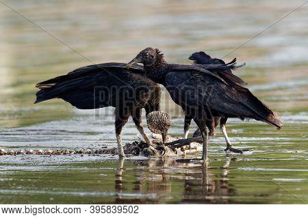 Black Vulture - Coragyps Atratus Or American Black Vulture, Several Scavenger Birds In The New World