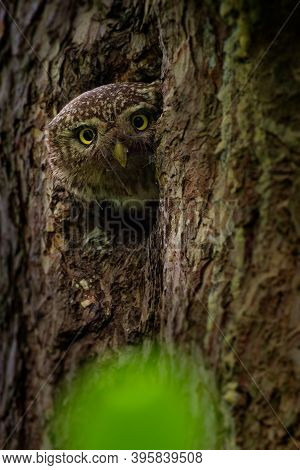 Eurasian Pygmy-owl Glaucidium Passerinum Looking From The Nest Hole In The Forest. Small European Ow