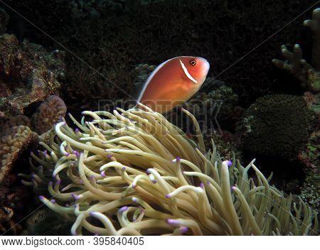 Pink Skunk Clownfish Or Pink Anemonefish Looking Up Cebu Philippines