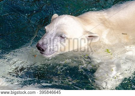 Picture Of A Young Polar Bear While Swimming, Scientific Name Ursus Maritimus