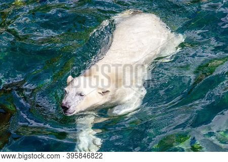 Front View Of A Young Polar Bear While Swimming, Scientific Name Ursus Maritimus
