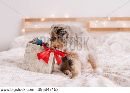 Cute Small Dog Pet Sitting On Bed At Home Exploring Gift Box With Presents. Christmas New Year Holid