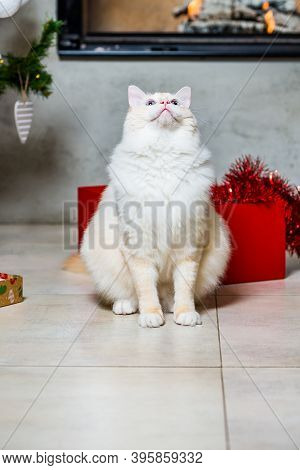 Ragdoll Cat Looking Up And Sitting By The Christmas Tree, Gift Box And Fireplace