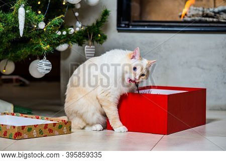 Ragdoll Cat Opened The Gift Box And Playing And Biting Its Toy
