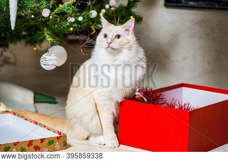 Young Ragdoll Cat Waiting Under Christmas Tree By The Open Gift
