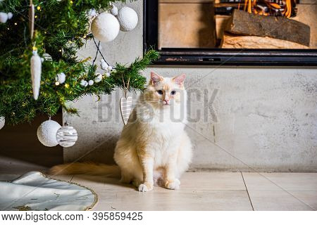 Fluffy Ragdoll Tomcat Sitting Under Christmas Tree By The Fireplace
