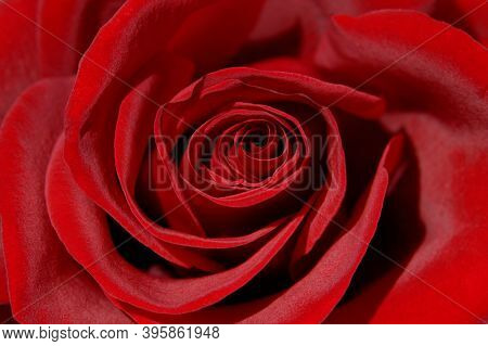Beautiful dark red rose front view closeup background texture of petals