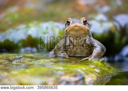 Common male toad, Bufo bufo, standing on a stone for calling the female.