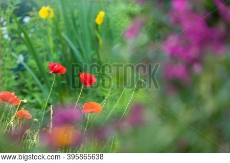 Colorful ornamental garden with poppies, yellow irises and Bougainvillea flowers. Selective focus on poppies.