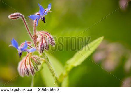 Borage plant flowers in an organic garden