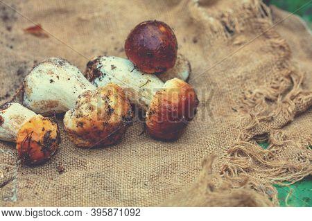 Mushrooms  On Sackcloth. Boletus Edulises On Sackcloth