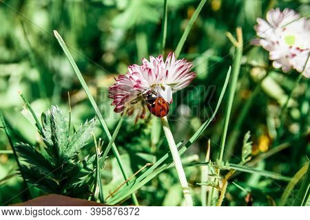Coccinellidae Sits On Flower With Red-white Petals Among Green Grass