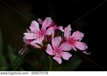 Nerium Oleander, Blooming Pink Oleander Flower, Bouquet Of Pink Blossom Oleander In The Garden On Da