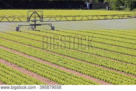 Industrial Automatic Irrigation System For Watering Green Lettuce Sprouts On Cultivated Agricultural