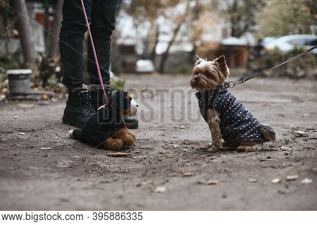 Yorkshire Terrier Sits In Front Of A Soft Toy Dog On The Street