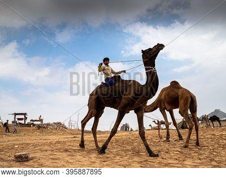 November 2019 Pushkar,rajasthan An Unidentified Rajasthani Camel Rider Enjoyed The Camel Ride With S