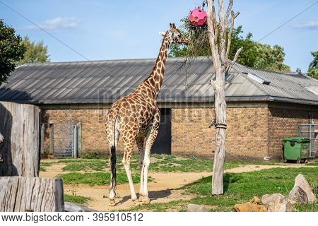 Giraffe, Giraffa Is An African Artiodactyl Mammal, The Tallest Living Terrestrial Animal And The Lar