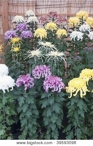 Colourful Chrysanthemum