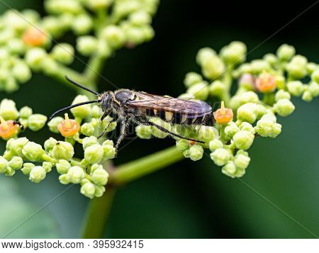 A Japanese Scolia Wasp, Scolia Histrionica, Looks For Nectar From Small Bushkiller Vine Flowers In A