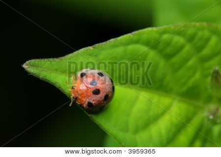 Close up of a ladybird bug crawling on green leaf. poster
