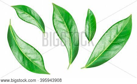 Flying Orange Fruit  Leaves Isolated On A White Background. Citrus Leaves  Top View. Flat Lay