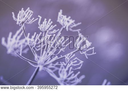 Beautiful Grass Covered With White Frost. Grass In The Meadow Covered With Hoarfrost. The First Fros