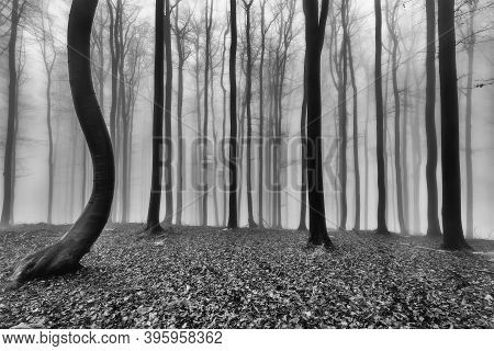 Autumn Beech Forest With Mist In The Background