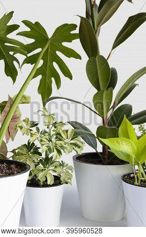 Many Araceae Liana Houseplant - Ficus Elastica, Scindapsus Aureus Neon, Schefflera Arboricola Janine