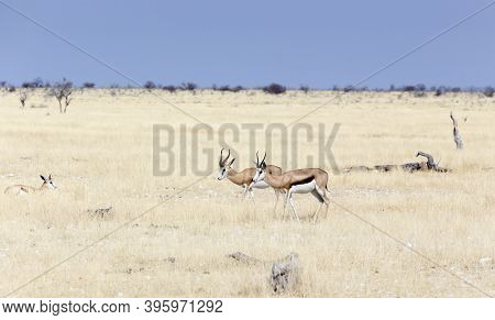 View Of  Antidorcas Marsupialis Antelopes In Savannah