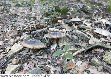 Agaricales Armillaria Mushrooms In The Wood Of Sardinia
