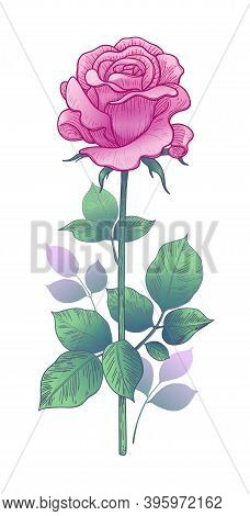 Hand Drawn Pink Rose Bud On Stem With Leaves Isolated On White Background. Beautiful Flower In Vinta