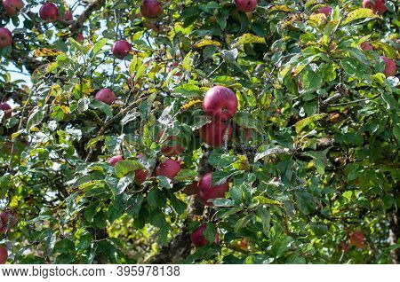 Branches Of An Apple Tree With Ripe Red Apples In An Orchard