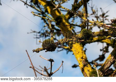 Close-up Of Green Moss Cushions Growing On Dead Twigs Of An Elder Tree