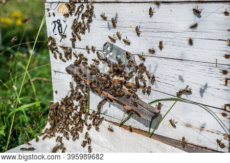 Detail Of Crowded Gate Into Wooden Bee Hive. Bees Arriving With Legs Wrapped By Yellow Pollen. Bees