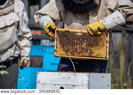 Close-up Shot Of Beekeeper Showing Honeycomb Frame With Working Bees Making Honey. Apiculture. Natur