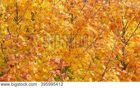 Yellow, Autumn Maple Leaves In The Forest.