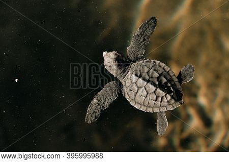 New Born Baby Turtle Swimming In Water Top View