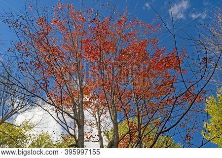 Red Leaves Against A Blue Sky In Governor Thompson State Park In Wisconsin