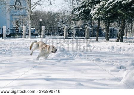 Labrador Retriever Plays In Deep Snow In The Park. The Dog Is Having Fun In The Winter Park On A Bri