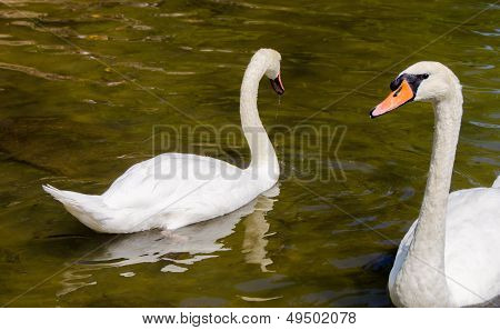 White Ducks