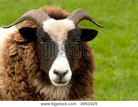 Face Of Horned Jacob Sheep