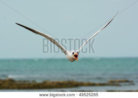 Caspian Tern Flying Head On