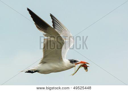 Caspian Tern With Fish