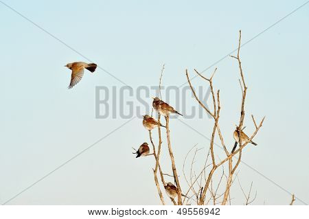 thrushes on branch in winter (Turdus Obscurus)