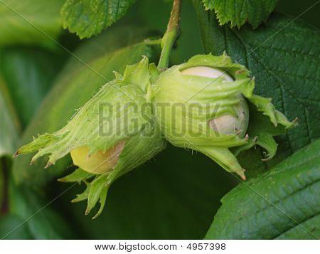 Hazelnut On The Bough
