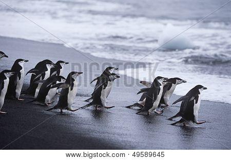 Chinstrap Penguins (Pygoscelis antarcticus) colony walking into sea