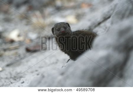 Dwarf Mongoose (Helogale parvula) selective focus