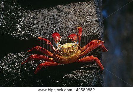 Ecuador Galapagos Islands Sally Lightfoot Crab on rock view from above