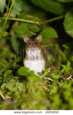 Apodemus Agrarius, Striped Field Mouse